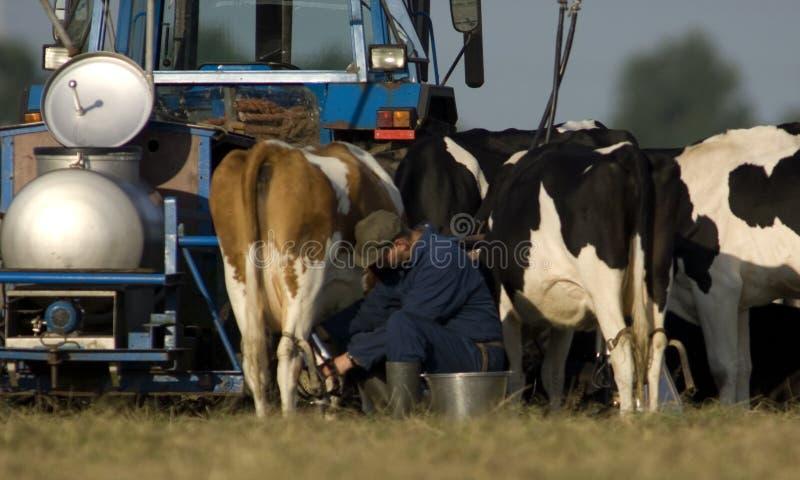 Boeren encontrou o melkvee, fazendeiros com gado de leiteria imagens de stock royalty free