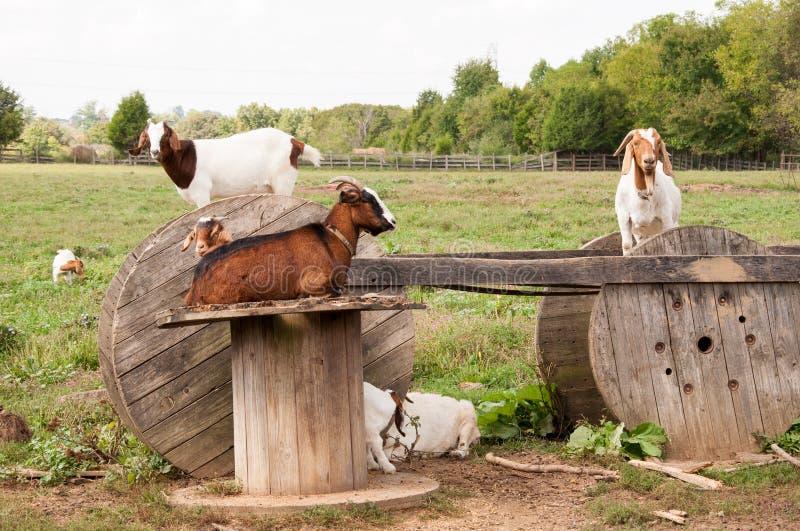 Boerengeiten royalty-vrije stock foto's