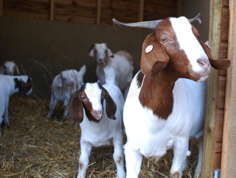 Boerengeiten, Witte en bruine komende uit pen royalty-vrije stock foto's