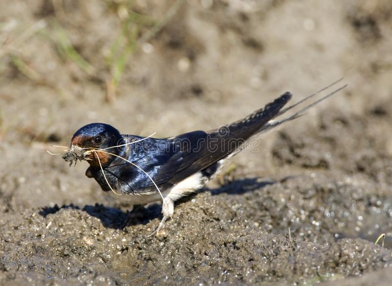 Boerenzwaluw, andorinha de celeiro, rustica do Hirundo imagem de stock