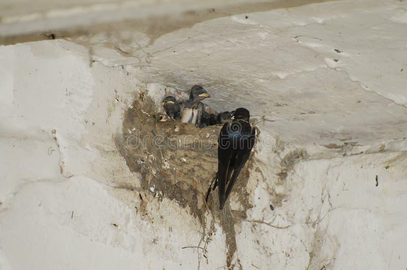 Boerenzwaluw Familie in Nest - Polen royalty-vrije stock foto
