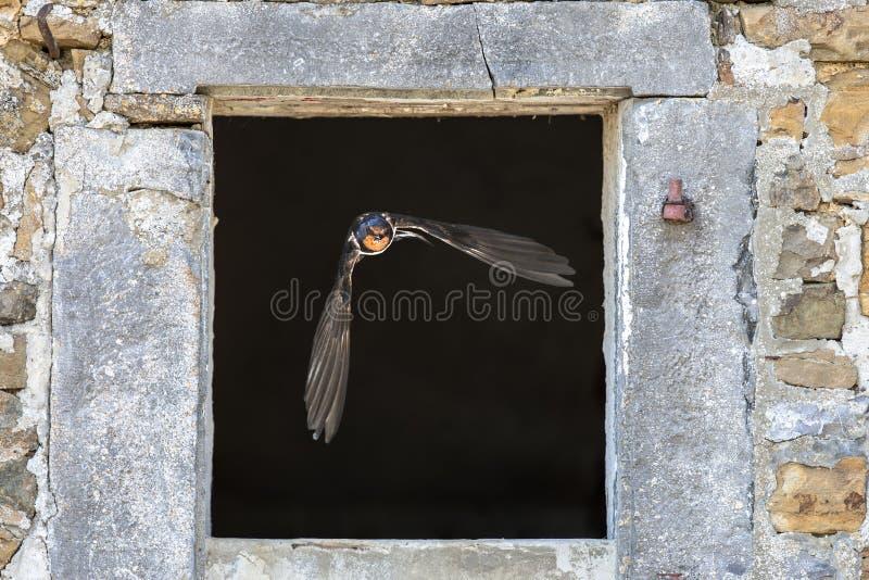 Boerenzwaluw het vliegen door venster royalty-vrije stock foto's