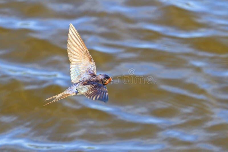 Boerenzwaluw, Hirundo-rustica vliegend over water stock foto