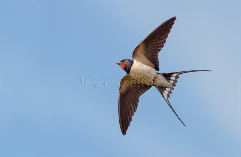 Boerenzwaluw vliegen in blauwe hemel met uitgerekte vleugels stock foto's