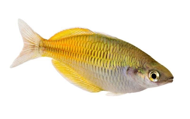 Boeseman的rainbowfish Melanotaenia boesemani热带水族馆鱼 免版税图库摄影