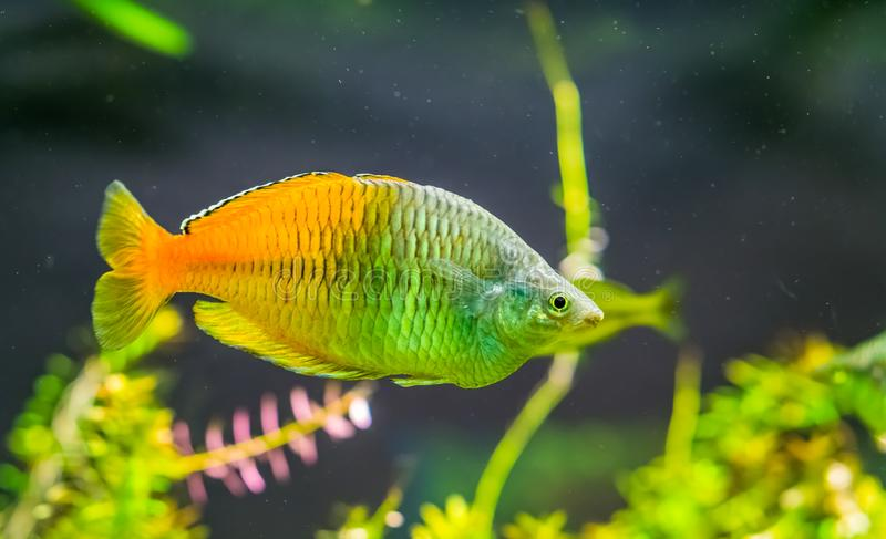 Boesemani rainbow fish in closeup, colorful and popular pet in aquaculture, tropical and endangered fish specie from lake ayamaru. A boesemani rainbow fish in royalty free stock photos