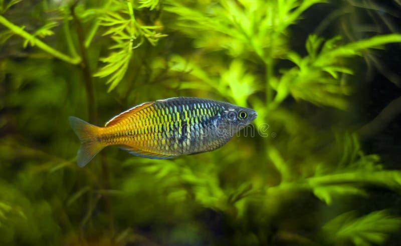 Boesemani Rainbowfish стоковая фотография rf
