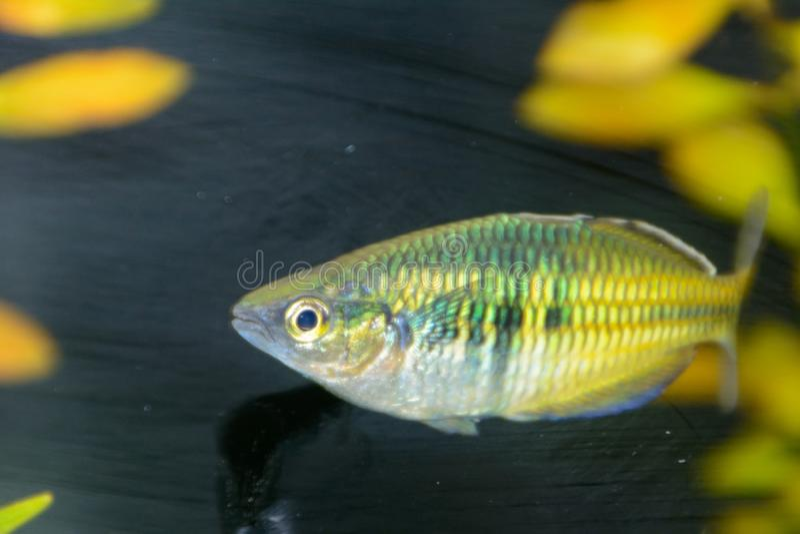 Boesemani regnbågefisk Regnbågefisk som är kvinnlig från släktet Melanotaenia i akvarium royaltyfri fotografi