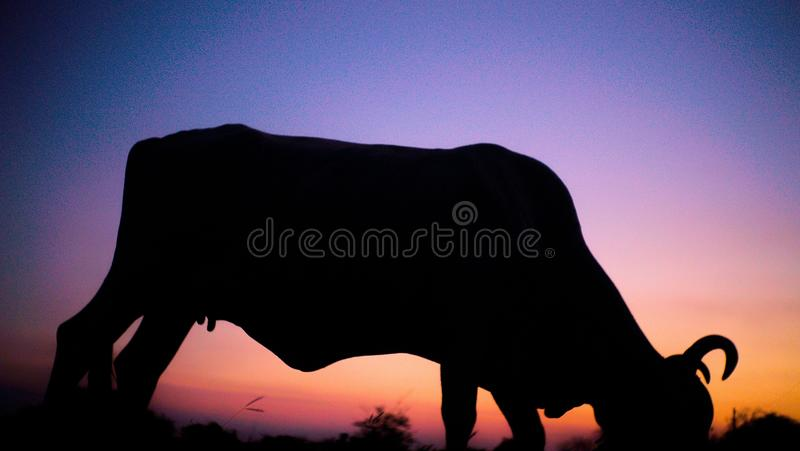 Boeuf frôlant pendant le coucher du soleil photos libres de droits