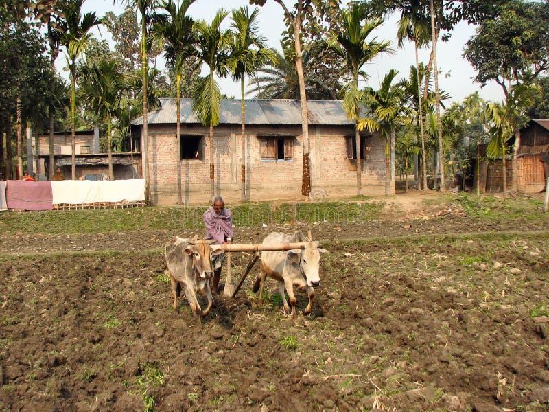 Boeufs labourant en Inde photographie stock libre de droits