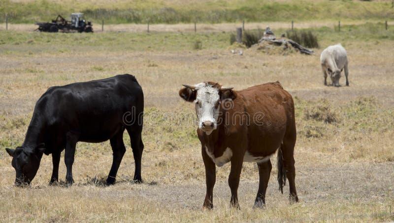 Boeufs noirs d'Angus et de brun dans le pré photo stock