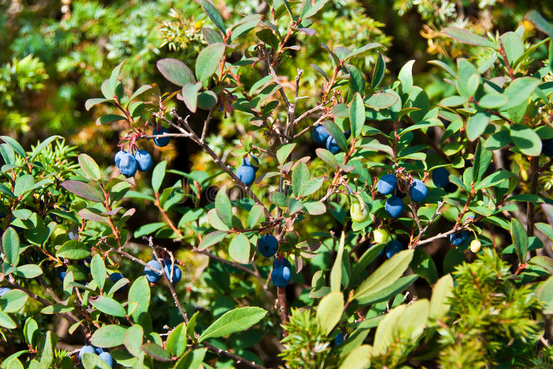 Bog bilberry. Forest landscape with bog bilberry plants and berries in summer royalty free stock photos