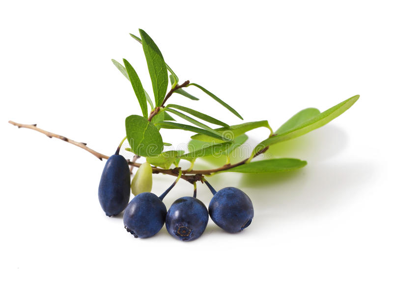 Bog bilberry. With leaves on a white background ( Vaccinium uliginosum royalty free stock image