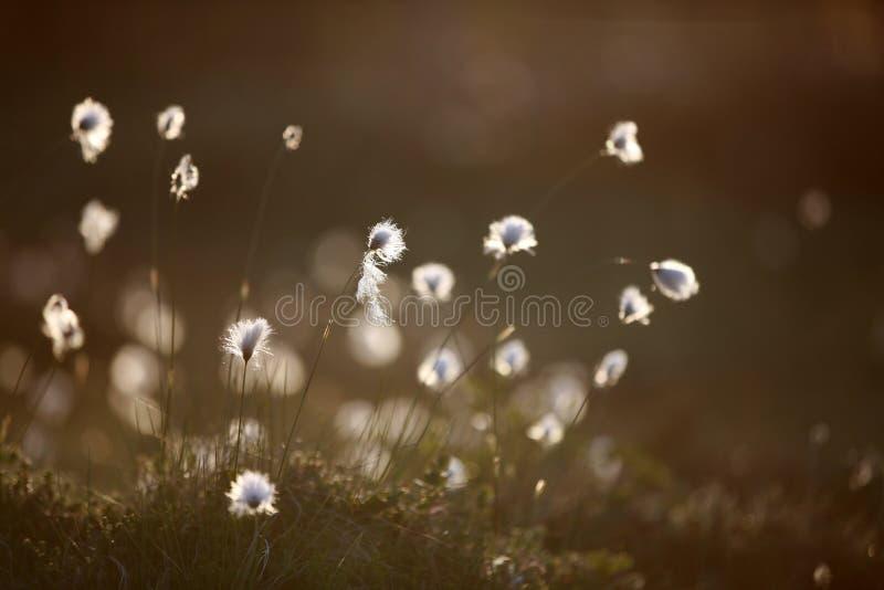 Bog cotton in evening light. In Sweden stock images