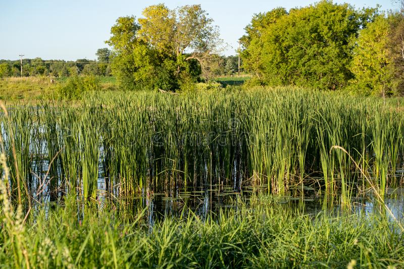 Bog med höga gräs, träd och kattlar på en sen eftermiddag i Minnesota på sommaren arkivbild
