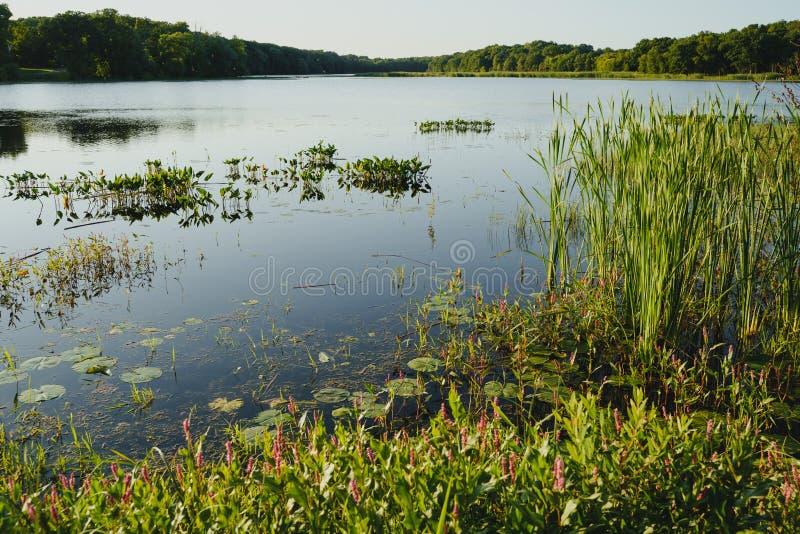 Bog med höga gräs, träd och kattlar på en sen eftermiddag i Minnesota på sommaren arkivbilder
