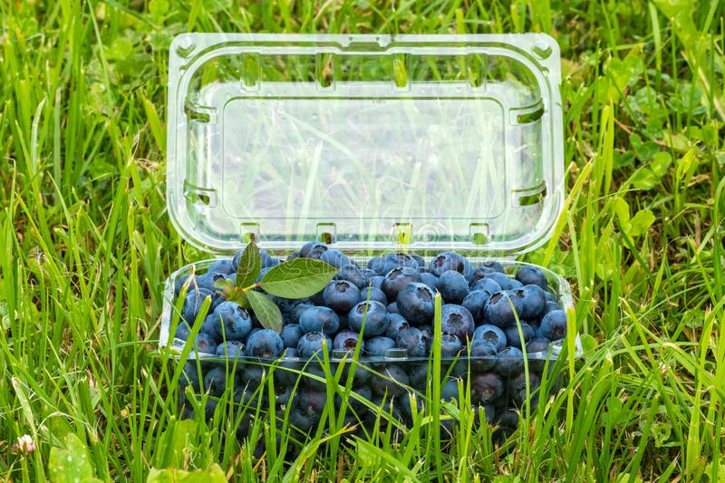 Bog whortleberry in a plastic box royalty free stock images