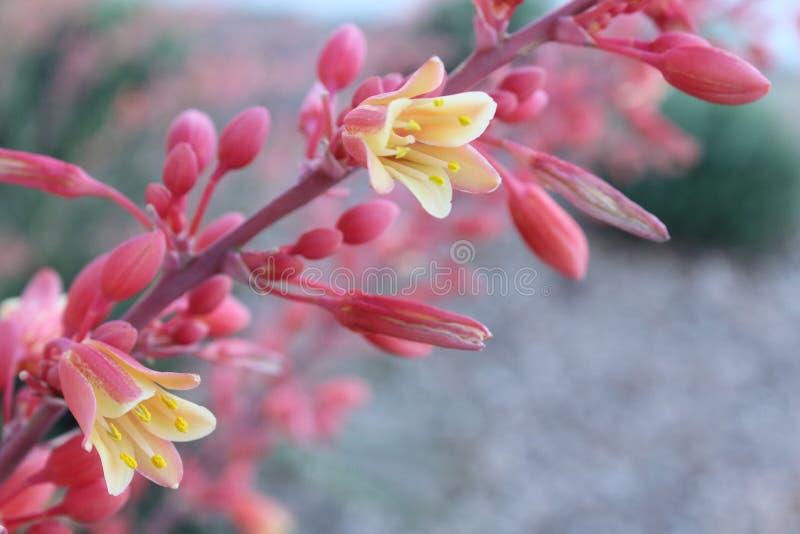 Bogaci szkar?atni czerwoni jukka kwiatu badyle w ?wietle s?onecznym obrazy royalty free