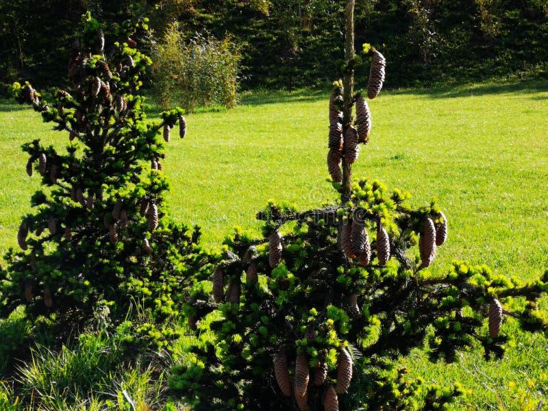 Bogactwo jedlinowi rożki w ogródzie obrazy royalty free
