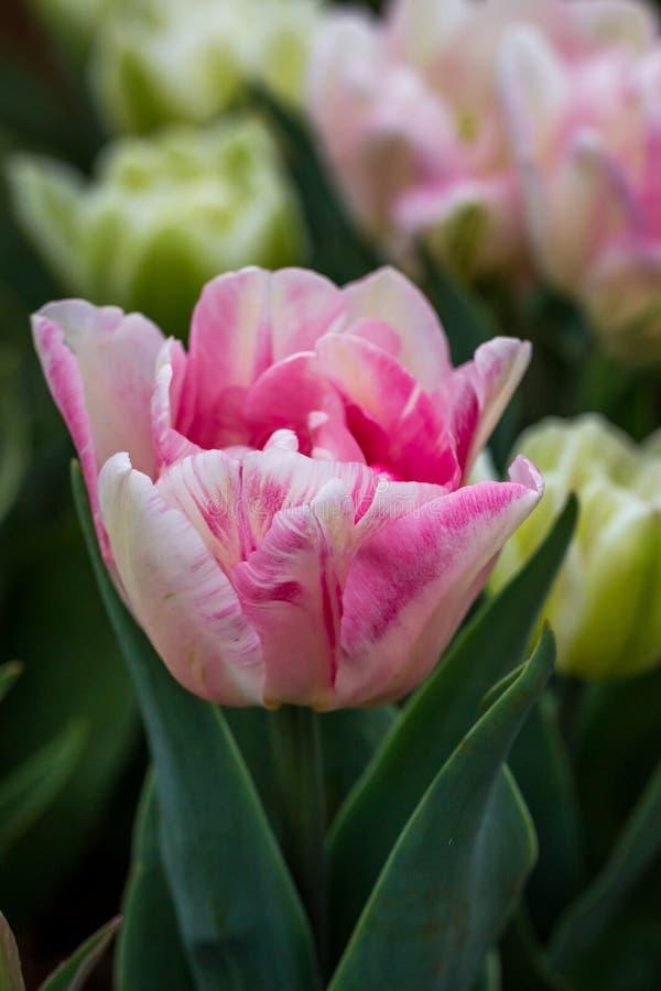 Bogactwo Różowi, Biali i Kremowi Tulipanowi kwiaty, Wiktoria, Australia, Wrzesień 2016 zdjęcia stock