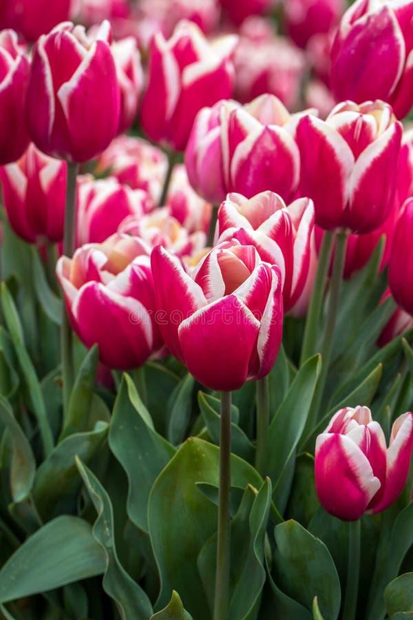 Bogactwo Różowi, Biali i Kremowi Tulipanowi kwiaty, Wiktoria, Australia, Wrzesień 2016 zdjęcie royalty free