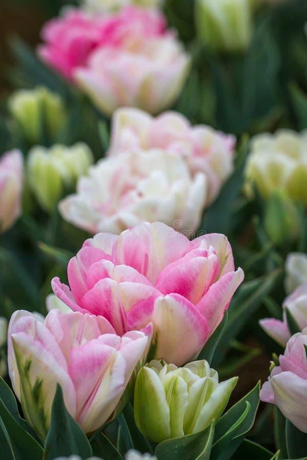 Bogactwo Różowi, Biali i Kremowi Tulipanowi kwiaty, Wiktoria, Australia, Wrzesień 2016 fotografia royalty free