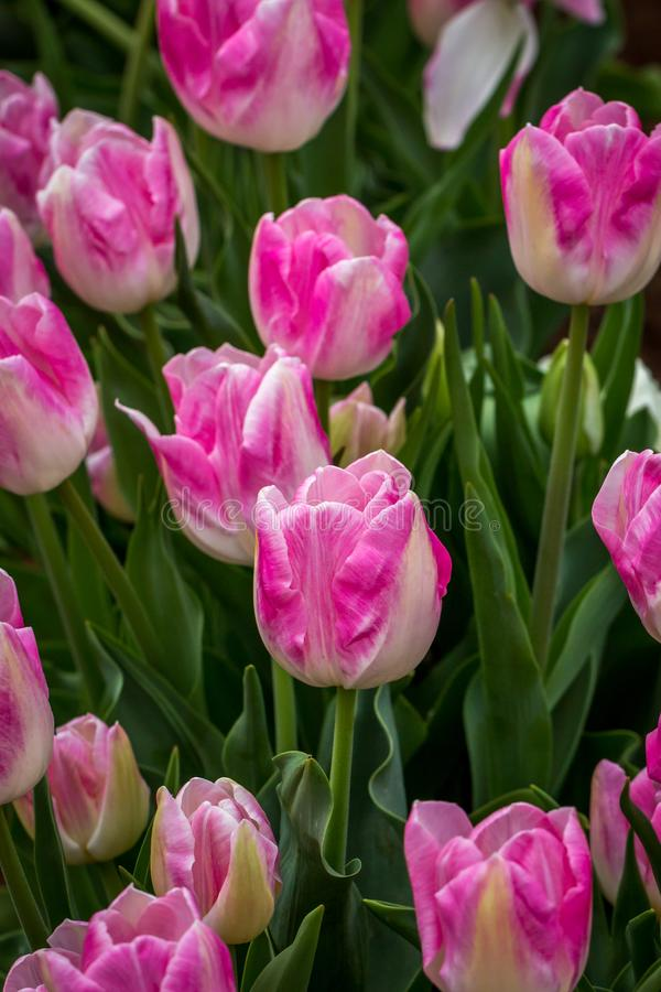 Bogactwo Różowi, Biali i Kremowi Tulipanowi kwiaty, Wiktoria, Australia, Wrzesień 2016 zdjęcie stock