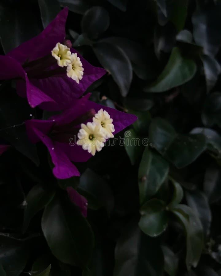 Bogambilla kwiat zdjęcie royalty free