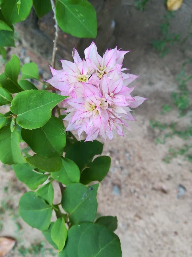Boganvilla blomma i Sri Lanka arkivfoton