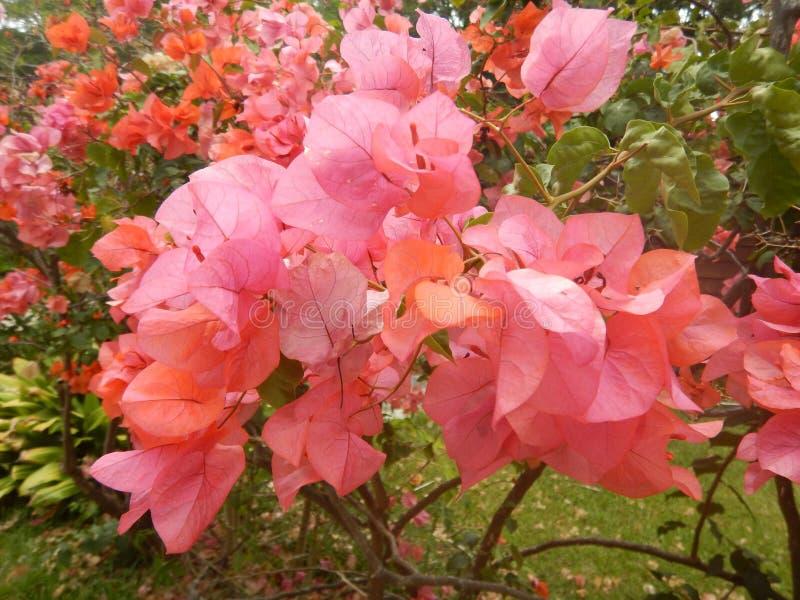 Boganvillea blomma fotografering för bildbyråer