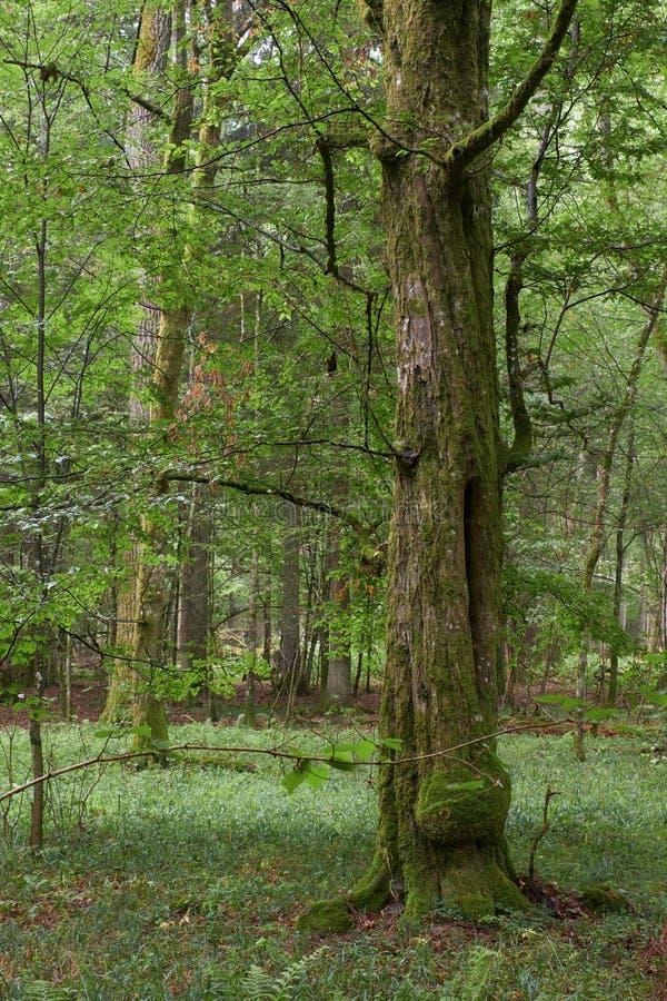 Bogata drzewo liściaste ze starym drzewem grawelowym zdjęcia stock