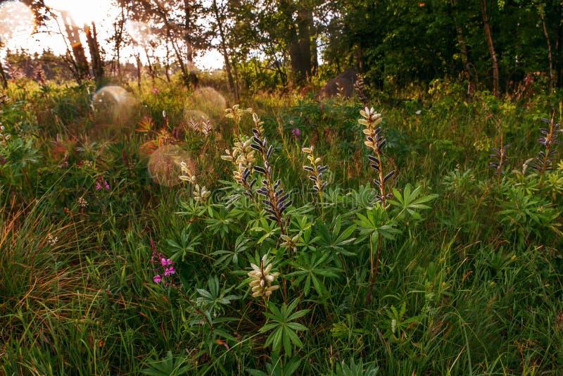 Bogata roślinność lupinus kwiat obraz stock