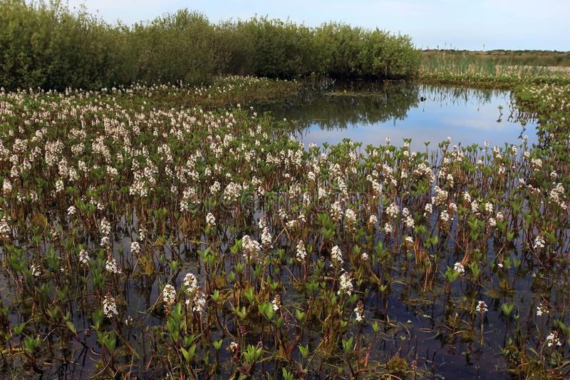 Bogbean, Menyanthes trifoliata obrazy royalty free