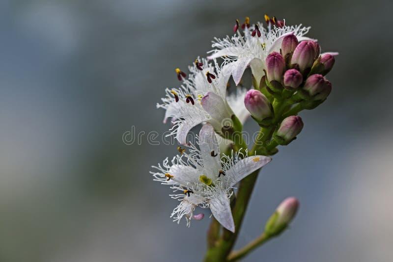 Bogbean, trifoliata del menyanthes, inflorescencia del agua floreciente imagen de archivo