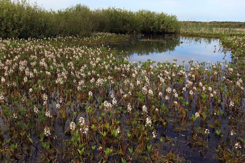 Bogbean, trifoliata di menyanthes immagini stock libere da diritti