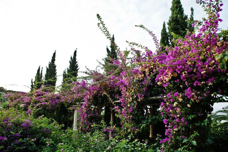 Bogen von purpurroten Blumen des Bouganvillas in der Türkei stockfotos