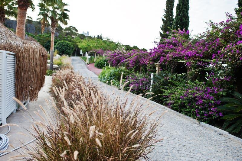 Bogen von purpurroten Blumen des Bouganvillas in der Türkei lizenzfreie stockbilder
