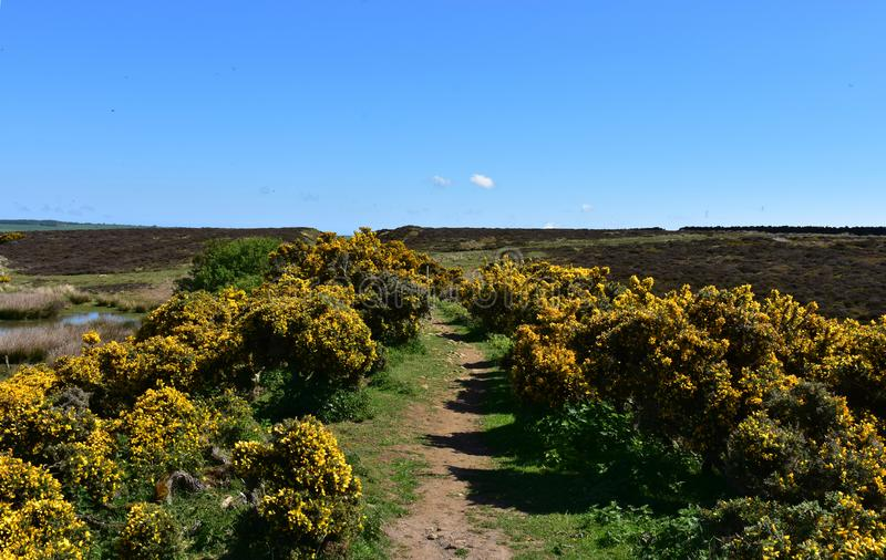 Boggy Moorland with Flowering Yellow Gorse Bushes Blooming. Wet boggy moorland with blooming yellow gorse bushes stock photo