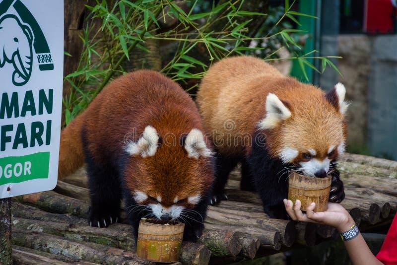 Bogor, Indonesia - 22 de diciembre de 2018: Dos pandas rojas de Bogor Safari Park que se traen especialmente de China están gozan fotografía de archivo libre de regalías