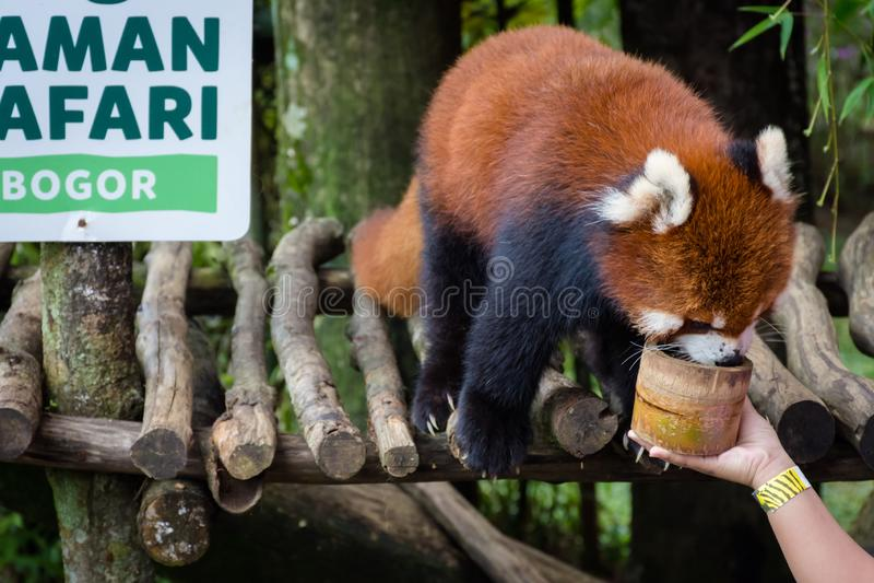 Bogor Indonesien - December 22, 2018: Röd panda från Bogor Safari Park som kommas med special från Kina som tycker om maten royaltyfria bilder
