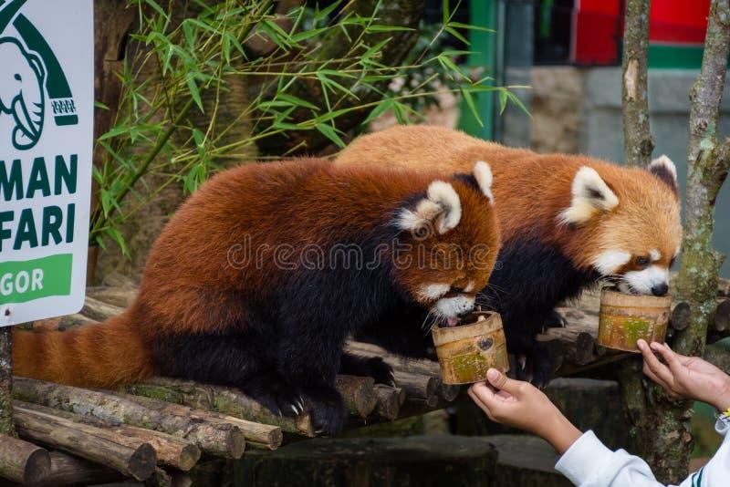 Bogor Indonesien - December 22, 2018: Två röda pandor från Bogor Safari Park, som kommas med special från Kina, tycker om fotografering för bildbyråer