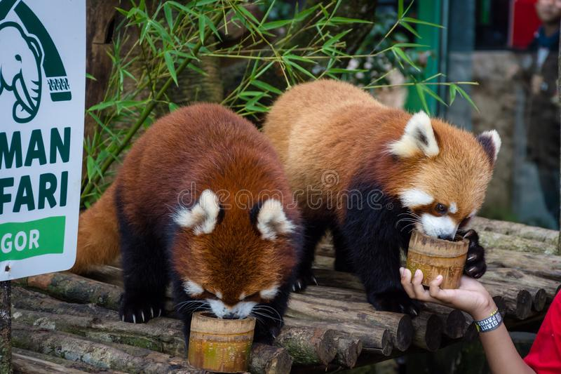 Bogor Indonezja, Grudzień, - 22, 2018: Dwa czerwonej pandy która szczególnie przynoszą od Chiny od Bogor safari parka cieszą się obraz royalty free