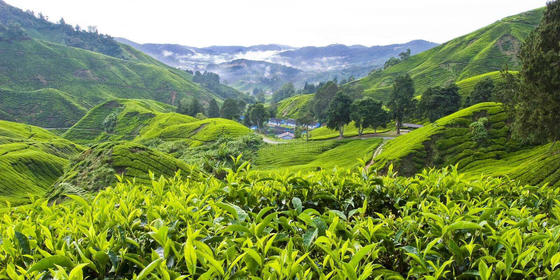 BOH-Tee-Plantage, Cameron Highlands, Pahang, Malaysia stockfotos