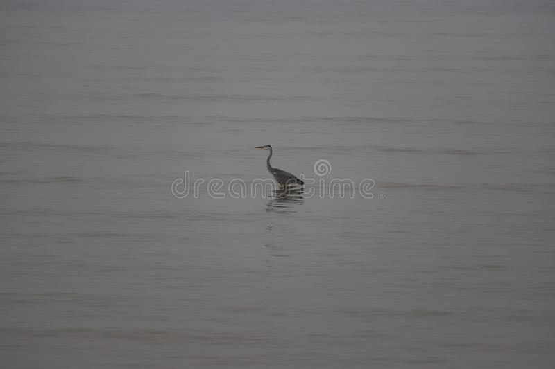 Heron during the high tide in the Bohai sea stock image