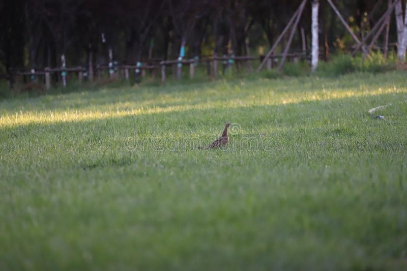 Young pheasant just fledged and looking to hide stock photography