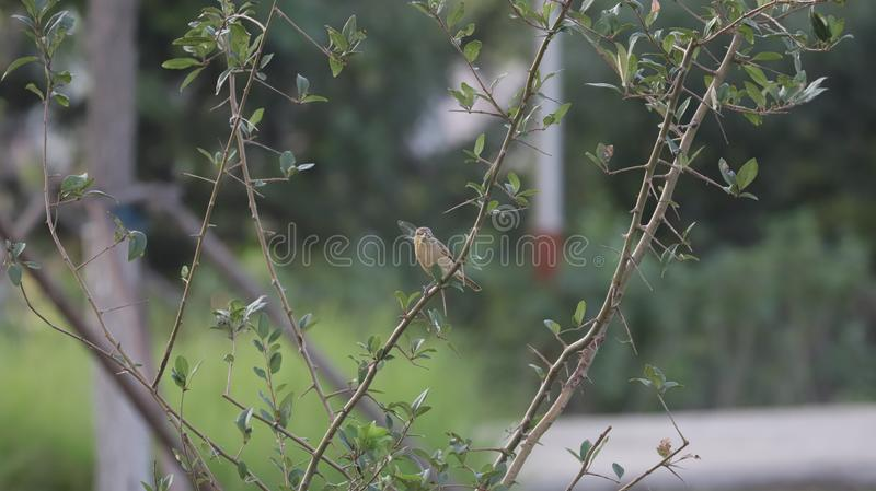 Small brown bird with a white belly stock photography