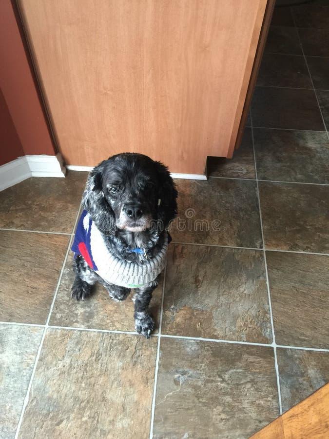 Bohdi. Dog friend pet handsome proper dapper cute puppy royalty free stock image