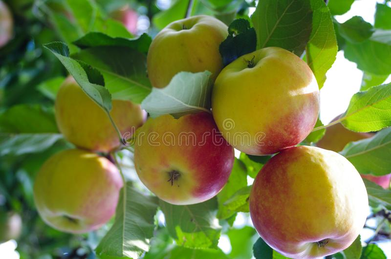 Bohemia Gold Apples. On a tree royalty free stock photo