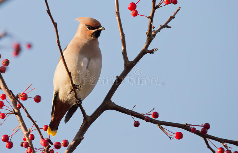 Download Bohemian Waxwing Stock Photography - Image: 27838492
