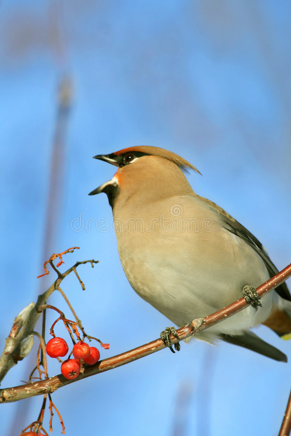 Bohemian Waxwing. The Bohemian Waxwing, Bombycilla garrulus, swallows of berries of a European Mountain Ash, Sorbus aucuparia, on a background of the blue sky royalty free stock image
